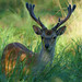 Deer hiding in the grass