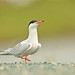 Common Tern by Brendan Kelly Wildlife Photography