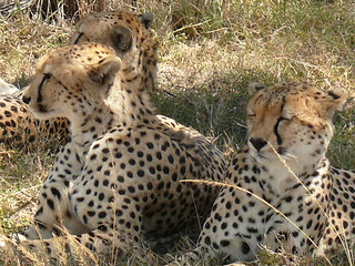Three cheetahs resting in Shade !