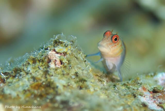 タテガミカエルウオ幼魚