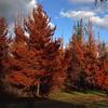 Falso otoño producto del incendio del pasado 11 de marzo en #Ñipas