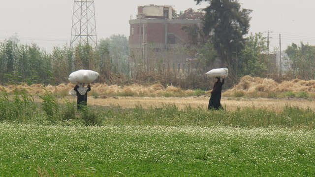 Women farmers at the field in Egypt's Sharkia