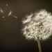 dandelion by le cabri