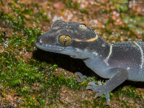Ground Banded Gecko