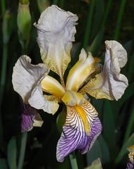 iris(0.0), cattleya labiata(0.0), cattleya trianae(0.0), eye(0.0), iris(1.0), flower(1.0), iris versicolor(1.0), flora(1.0), plant stem(1.0),