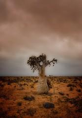 Desert Rose, Socotra Island