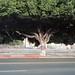 Ficus with a cummerbund by ADMurr
