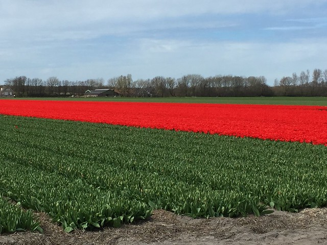 A streak of red tulips