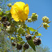 Small photo of Abutilon grandifolium