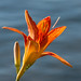 Lily by the Lake, Bayfield by Sharon Mollerus