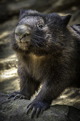 A Wombat Named Belle