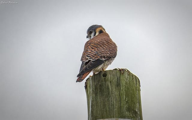 Falco sparverius ♀ (Halconcito común)