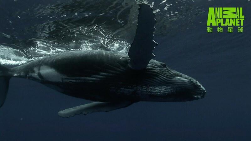 芬迪灣為超過300隻鯨魚提供食宿。這裡可欣賞到12種鯨魚。(動物星球頻道提供)
