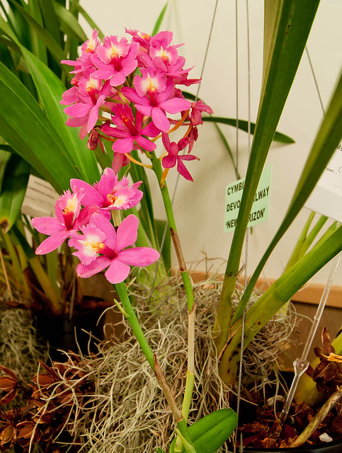 Epidendrum Rose Valley
