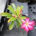 Desert rose, Bali