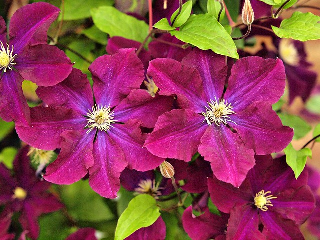 015 purple Clematis