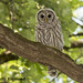 Juvenile Barred Owl by kelly_d_raymond