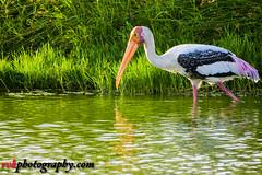 Painted Stork, Sholinganallur Marshland, Chennai