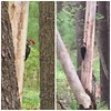 Huge red headed woodpecker in our woods this morning