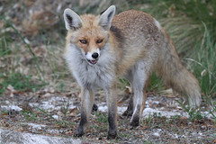 grey fox(0.0), kit fox(0.0), animal(1.0), red wolf(1.0), mammal(1.0), jackal(1.0), fauna(1.0), red fox(1.0), dhole(1.0), saarloos wolfdog(1.0), wildlife(1.0),