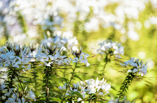 The Cleome of Summer