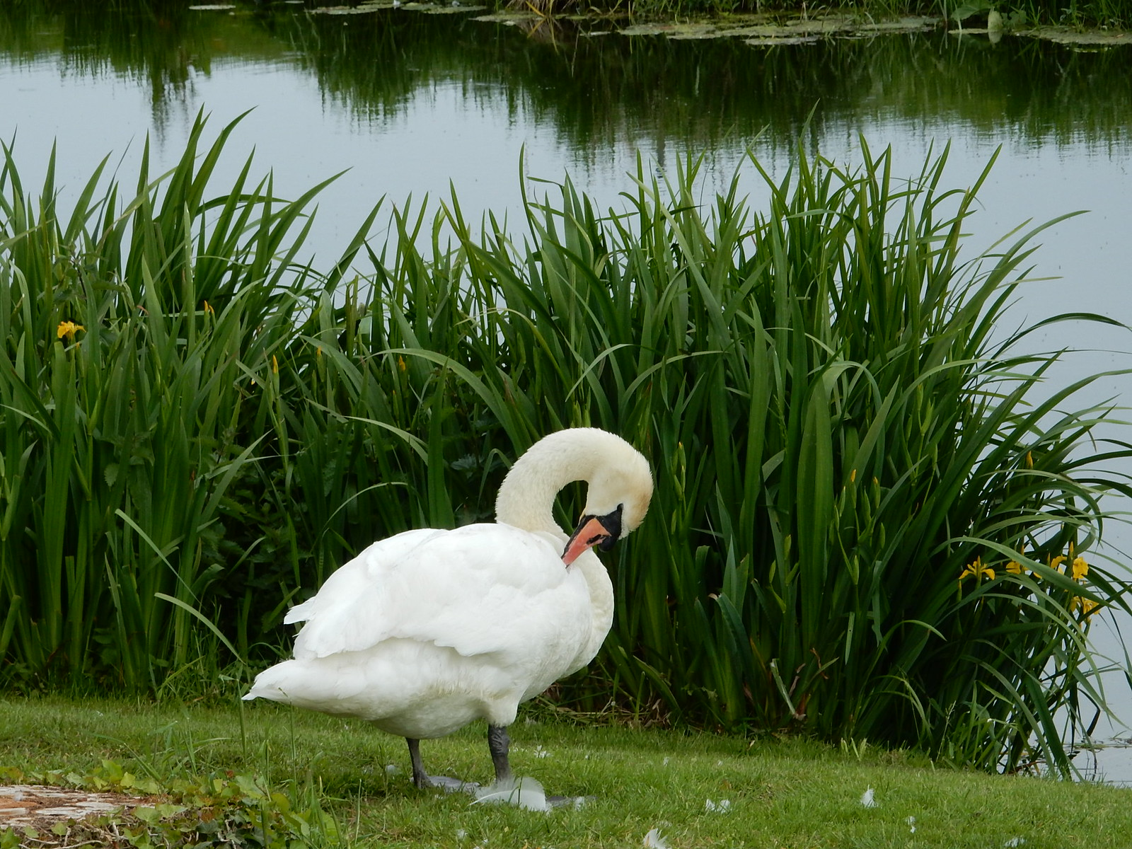 Swan at the Henny Swan.Bures to Sudbury