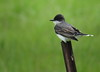 Eastern Kingbird - South Dakota 5-27-2016