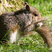 Project 366 - Day 182 - Sap Sucker Squirrel.