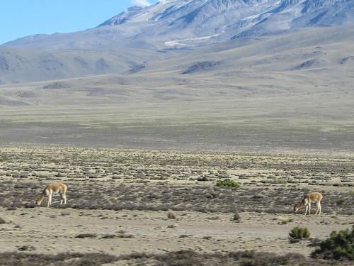 Retour du Cañon de Colca vers Arequipa: des vigognes