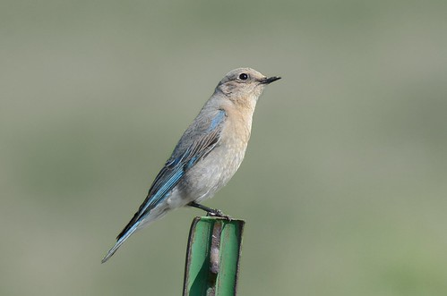 19april2015 bickleton bird bluebird thrush mountainbluebird april 2015