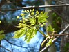 Norway maple flowers and leaves