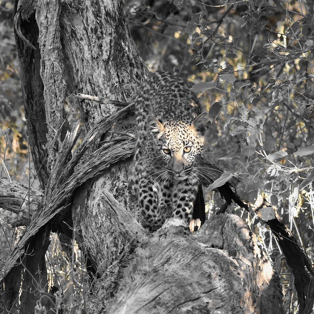 Eye of the Leopard (Cropped)
