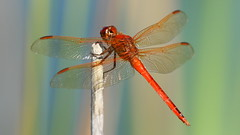 Needham's Skimmer male- Aripeka Sandhills Preserve