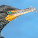 Double-Crested Cormorant Portrait at Everglades National Park by D200-PAUL -- On Holiday through Mid October