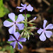 Wild blue phlox - Photo (c) Philip Bouchard, some rights reserved (CC BY-NC-ND)
