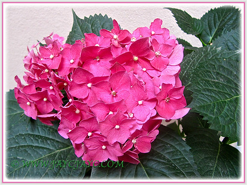 Striking Pink Hydrangea, joined our garden on Feb 28 2015
