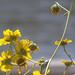 Rio Salado Wildflowers, Backlit