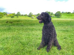 miniature poodle, standard poodle, dog breed, animal, dog, curly coated retriever, pet, lagotto romagnolo, poodle crossbreed, poodle, portuguese water dog, spanish water dog, barbet, carnivoran,
