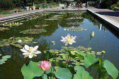 Sacred Lotus Flowers