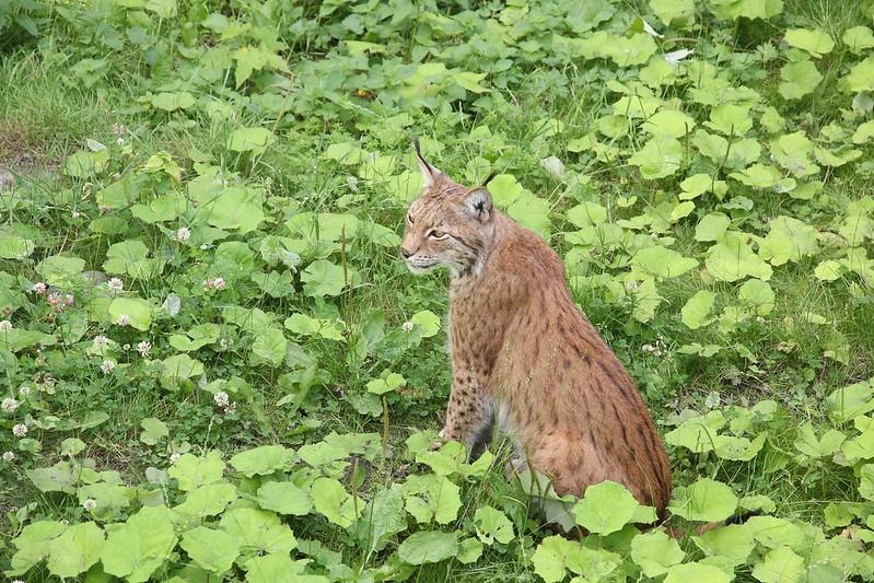 Stockholm Skansen Museum zoo lynx
