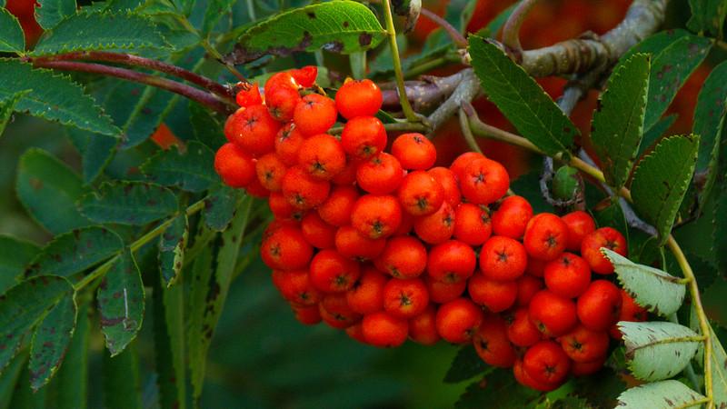 Rowan berries ripening
