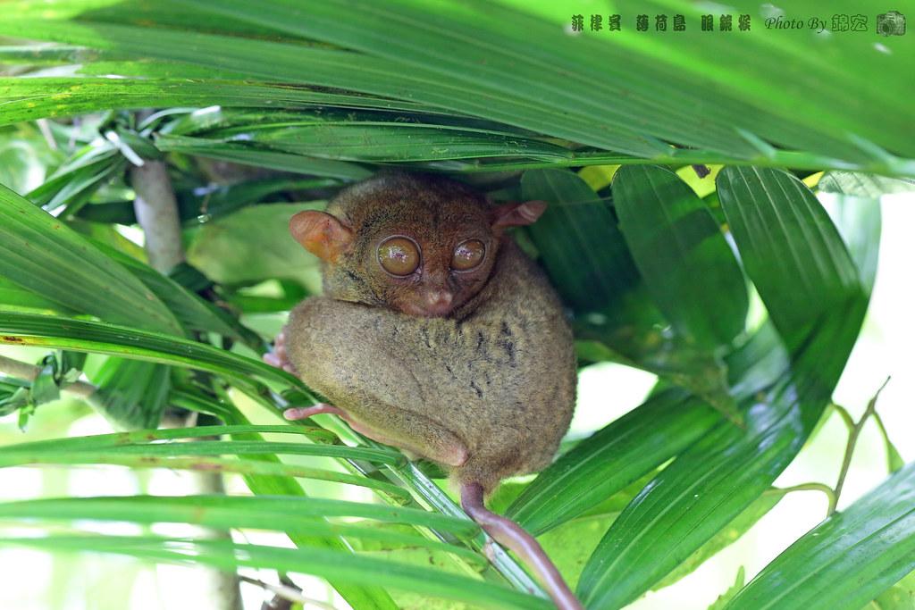 2016.09.15~菲律賓 薄荷島 眼鏡猴