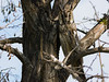 Long Eared Owl (Asio Otus) by msergoktas