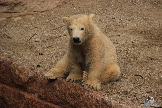 Eisbär Fiete im Zoo Rostock 04.05.2015 8