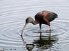 Glossy Ibis by iansand