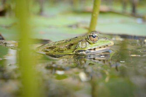Teichfrosch - Edible Frog - Pelophylax kl. esculentus