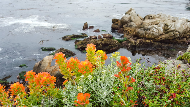 Monterey Indian Paintbrush/Seaside Paintbrush (Castilleja latifolia)
