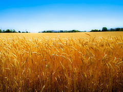 Wheat Kings