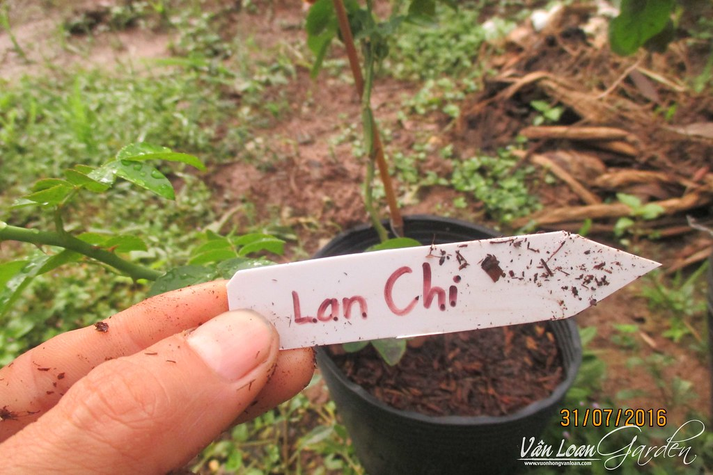 cach trong hong leo lan chi jasmina xuong dat (4)-vuonhongvanloan.com