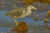 Garza azul   Little blue heron    Egretta caerulea by Freddy Olivares C.
